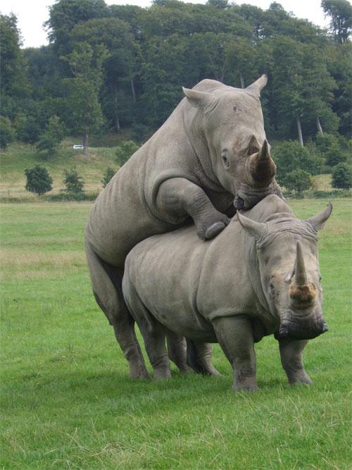Rhino's Humping